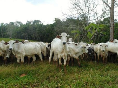 Mais de 80 mil produtores rurais de Rondônia já declararam o rebanho bovino
