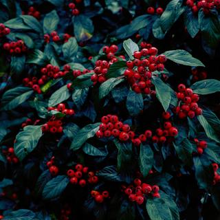 Oregon Berries by Lerr