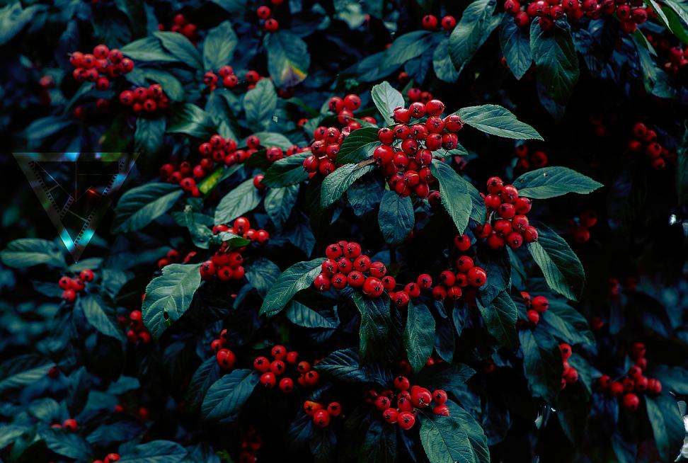 Oregon Berries.png