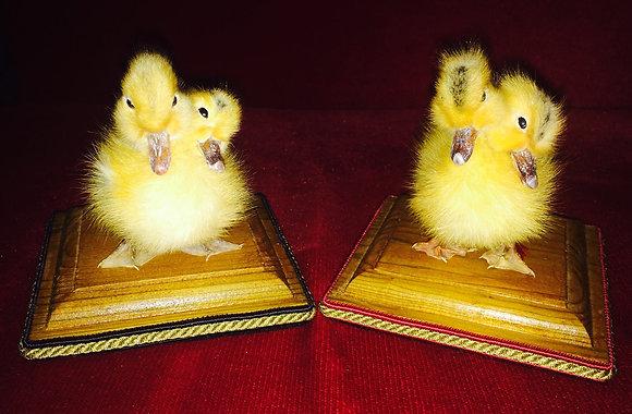 2 Headed duckling