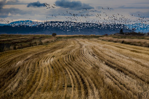 Envolée d'oies blanche, Kamouraska