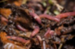 eisenia-vers-de-compost.jpeg
