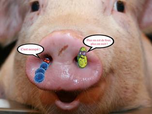 Streptococcus suis et Haemophilus parasuis, des co-malfaiteurs… qui se parlent peu mais ne se nuisen