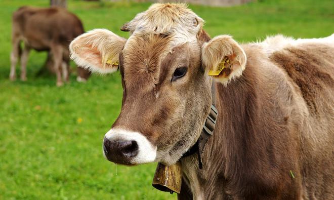 Bactérie infectieuse bovine détectée dans des infections pulmonaires porcines au Québec