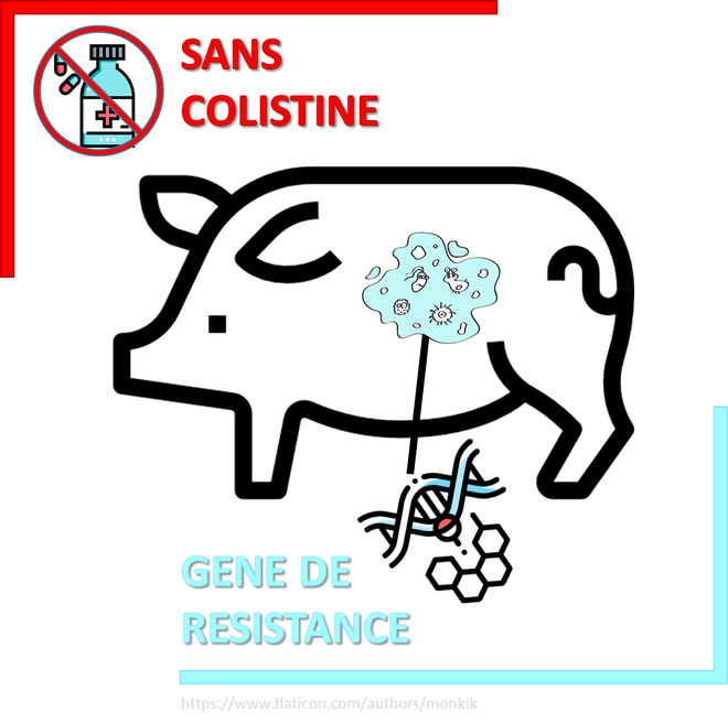 Résistance à la colistine : Première détection dans le microbiote d'un élevage porcin canadien.