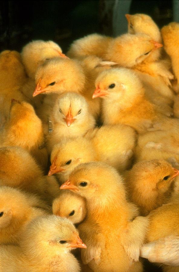 Probiotique protecteur de la paroi intestinale chez le poulet âgé d'un jour.