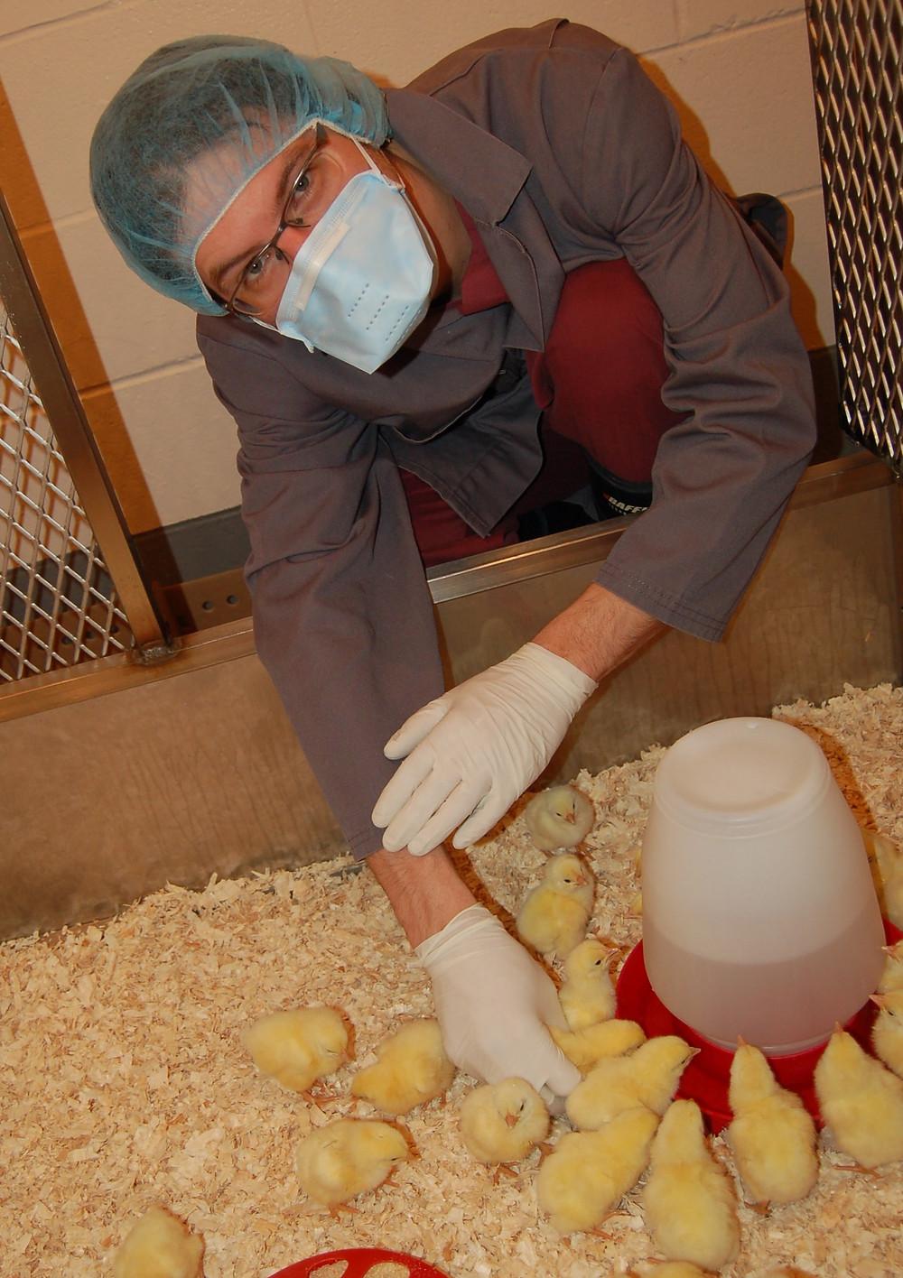 Alexandre Thibobeau, Ph.D. réalise une étude sur le microbiome du poulet après colonisation par un nouvel arrivant....la bactérie Campylobacter jejuni.