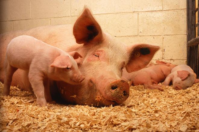 L'âge des lésions de la peau chez des porcs déterminé par spectrophotométrie corrèle avec l'expressi