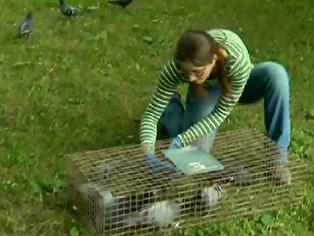 Les pigeons montréalais posent-il un risque pour la santé publique?