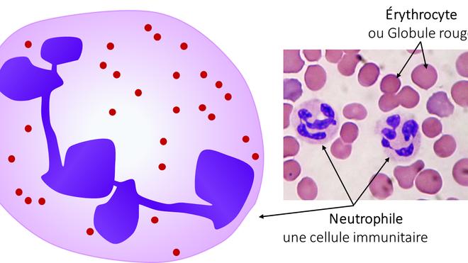 Le rôle des neutrophiles dans l'infection à Streptococcus suis