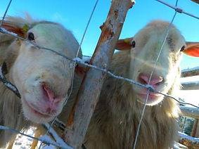 Royal White Hair Sheep Harmony Farm Lamb