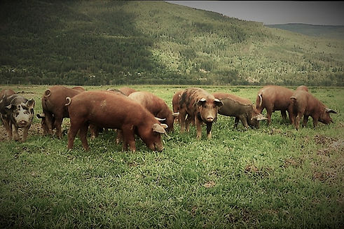 pigs in pasture 5.jpg