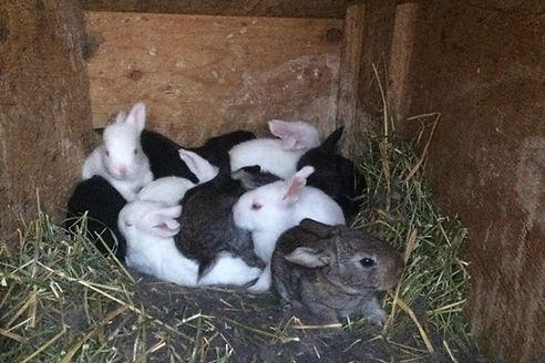 California Flemish Giant Cross Rabbits
