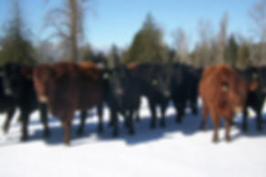 Cattle raised outdoors on fresh pasture.