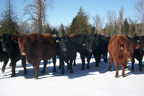 Cattle raised outdoors on fresh pasture.