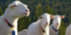 Royal White Hair Bred BC Lamb Harmony Farm Lamb