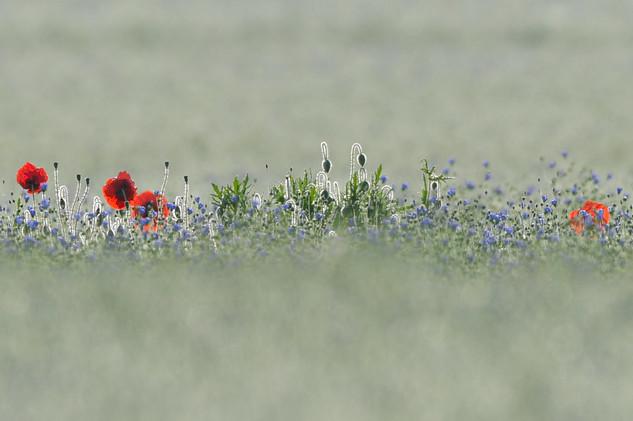 Champ de lin et fleurs des champs