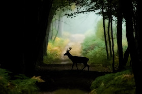 Cerf élaphe en forêt
