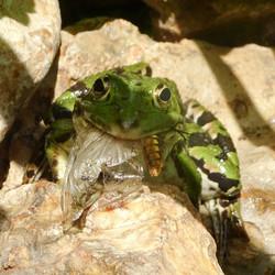 Grenouille verte et sa proie ( libellule déprimée )