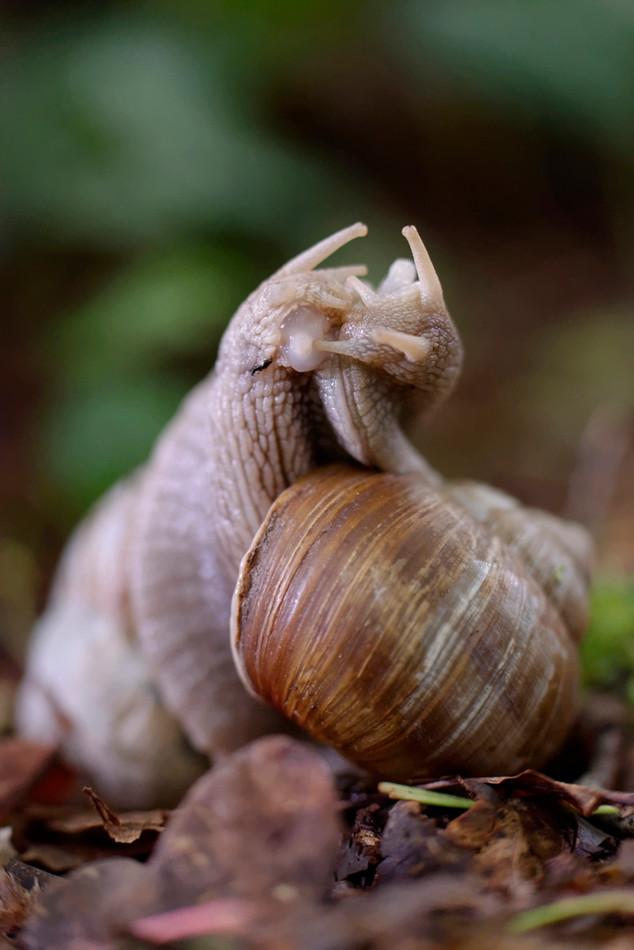 Accouplement d'escargots de Bourgogne