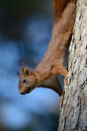Ecureuil roux, forêt des Landes