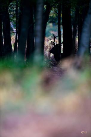 Cerf élaphe en forêt normande