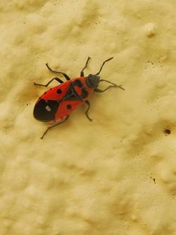 Melanocoryphus albomaculatus