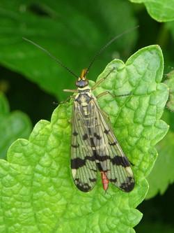 Mouche scorpion femelle
