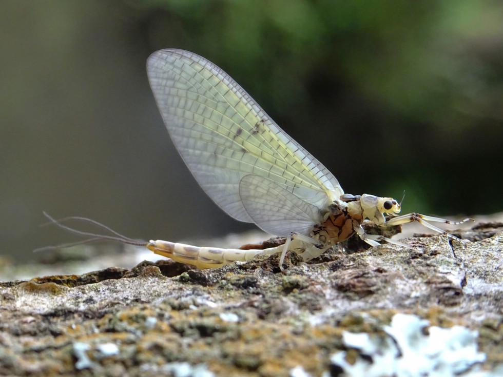 Grande Mouche de mai ( Ephemera danica )