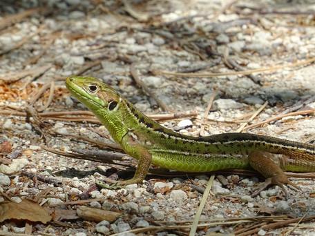 Lézard vert ( Lacerta bilineata )du Delta de l'Eyre
