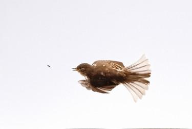 Jeune Gobemouche gris en plein vol