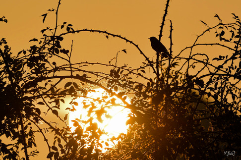Rouge-Gorge au lever du soleil