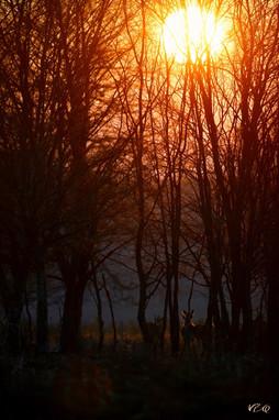 Biches au coucher du soleil
