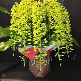 グラマトフィラム 夏に人気の蘭です。