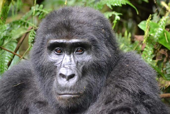 Gorila no Gabão