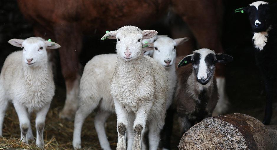 lambs9496.jpg