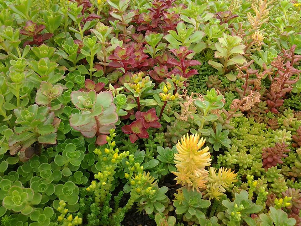 Plants For Green Living Roofs Sedum Mix