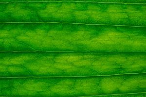 Leaf close-up.jpg