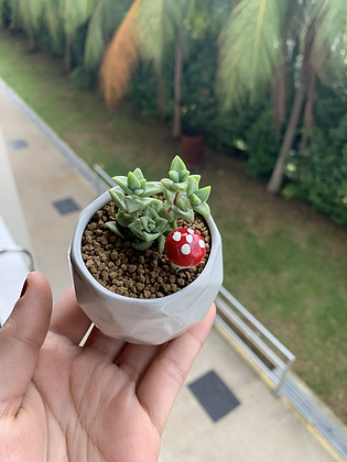 Mini Crassula Perforata in Marble Pot
