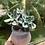 Thumbnail: Aeonium Amistar Cluster in Pot