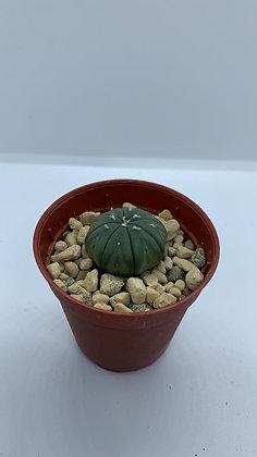 Astrophytum Asteria - #6 - (2.7cm)