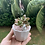 Thumbnail: Pink Rabbit Potted Succulent