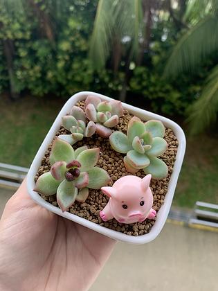 Succulent Arrangement with Pig