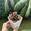Thumbnail: Echeveria Pulidonis Cluster