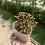 Thumbnail: Aeonium sedifolium in heart pot