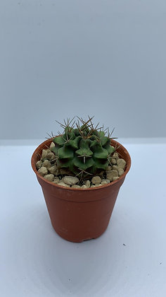 Gymnocalycium Mihanovichii - #3 - (3.3cm)