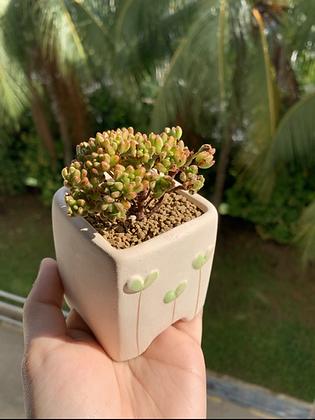 Aeonium Sedifolium (Potted)