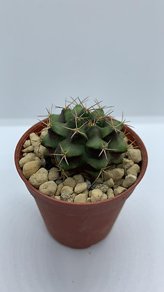 Gymnocalycium Mihanovichii - #10 - (3.5cm)