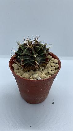 Gymnocalycium Mihanovichii - #19 - (3.9cm)