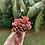 Thumbnail: Echeveria Sunyan Cluster
